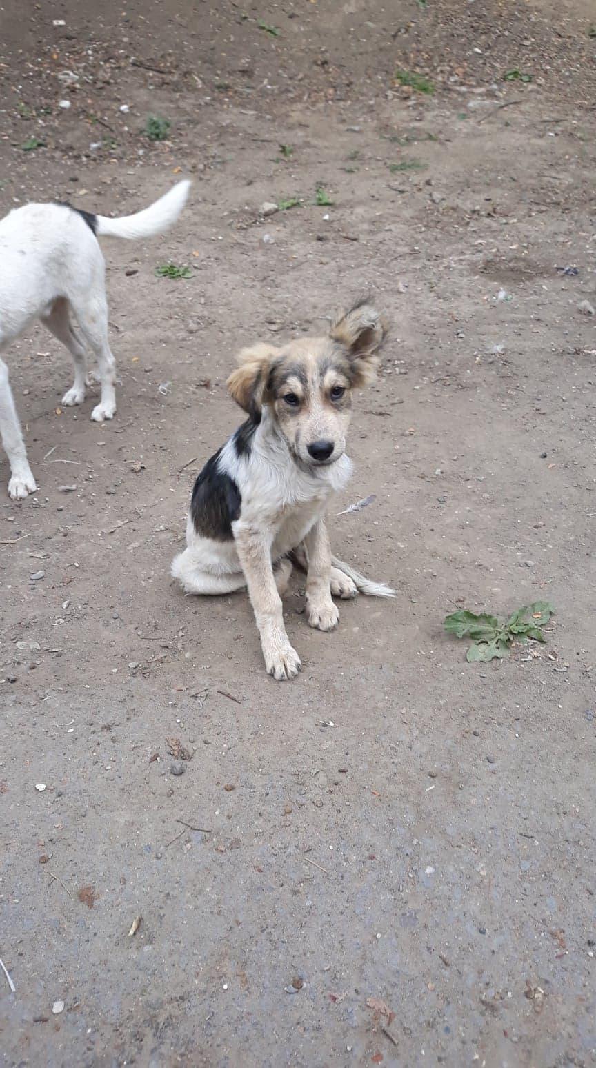 Hélios-mâle- fourrière de Târgu Frumos - adopté via Andreea 71115910