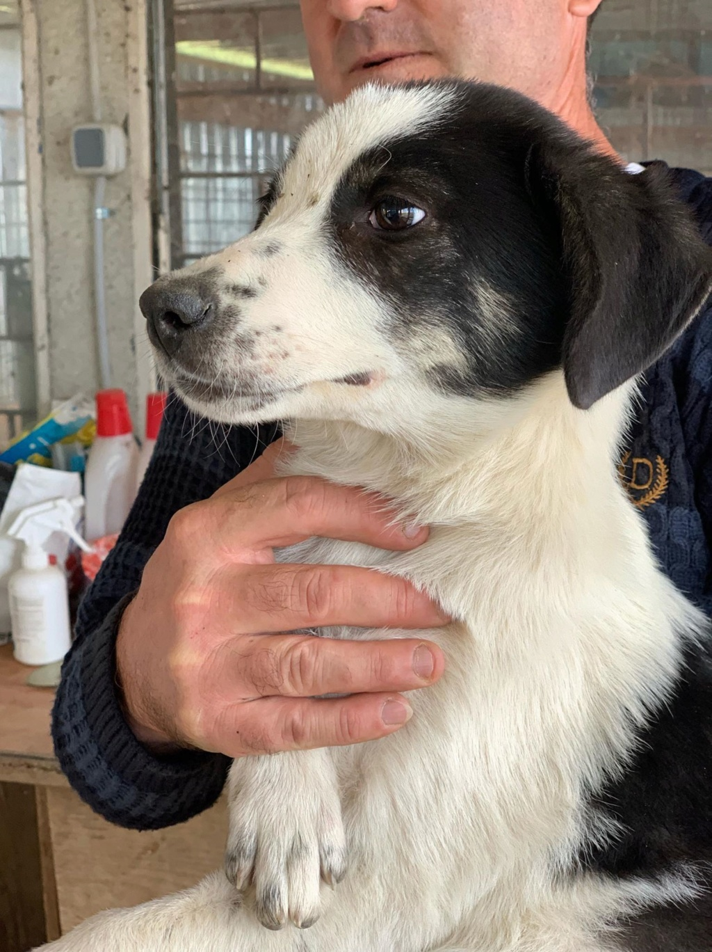Miacara- femelle- fourrière de Târgu Frumos - adoptée via Andreea 71930810