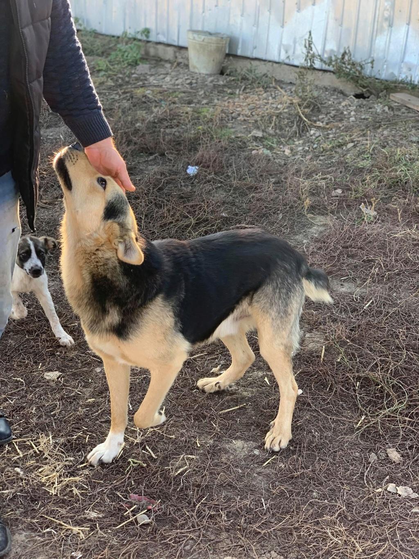 Brisco- mâle- fourrière de Târgu Frumos - demande en cours 72956710