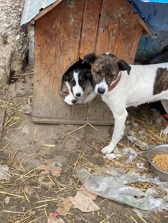 Nirvana- femelle- fourrière de Târgu Frumos - adoptée via Andreea 73482710