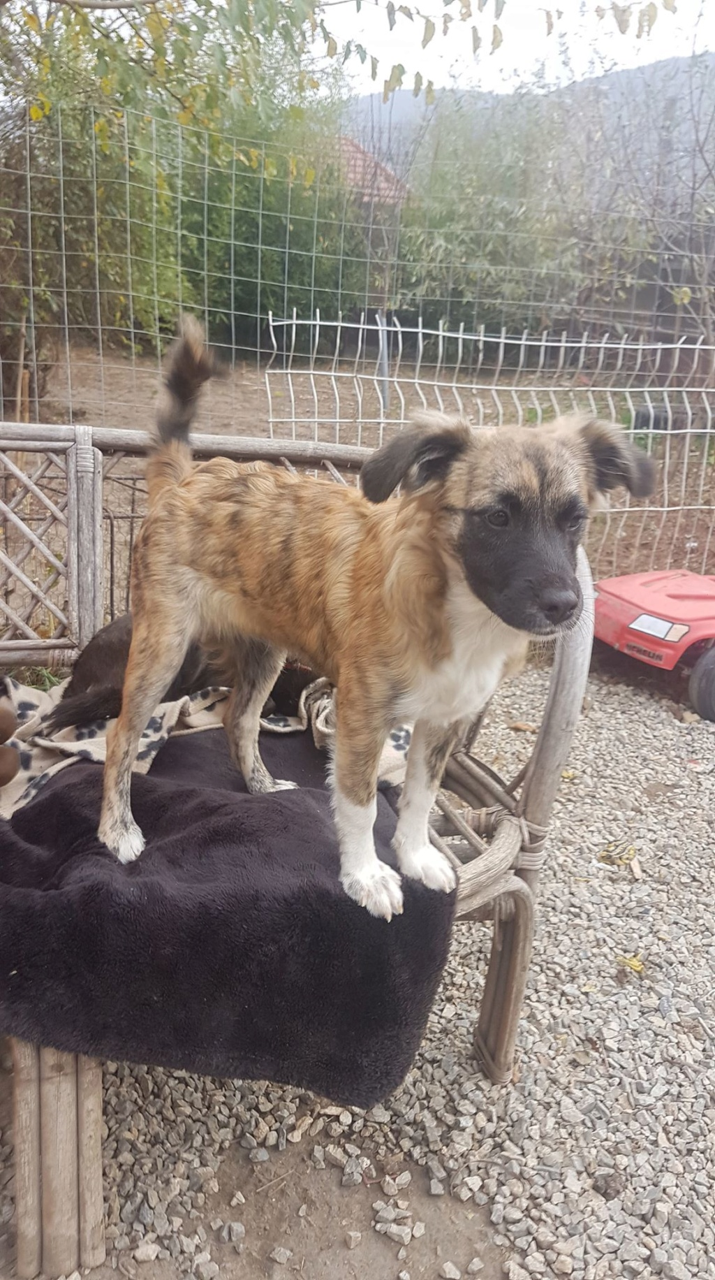 Zola- femelle- refuge d'Arad - adoptée via Arad 74187910