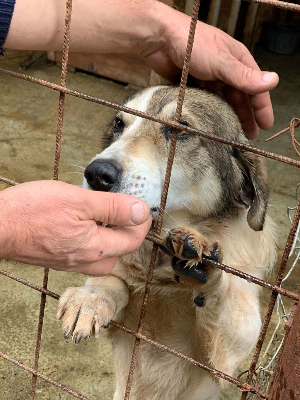Gibbs - mâle - fourrière de Târgu Frumos - réservé adoption (67) 74667810