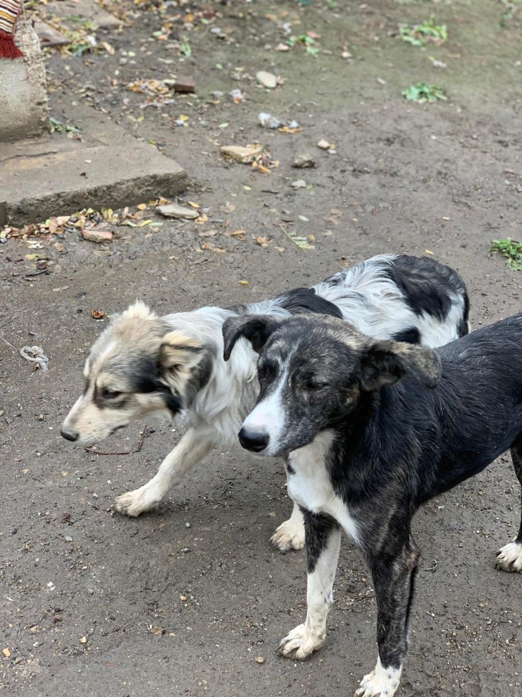 Humphrey - mâle - fourrière de Târgu Frumos - adopté via Andreea 75053211