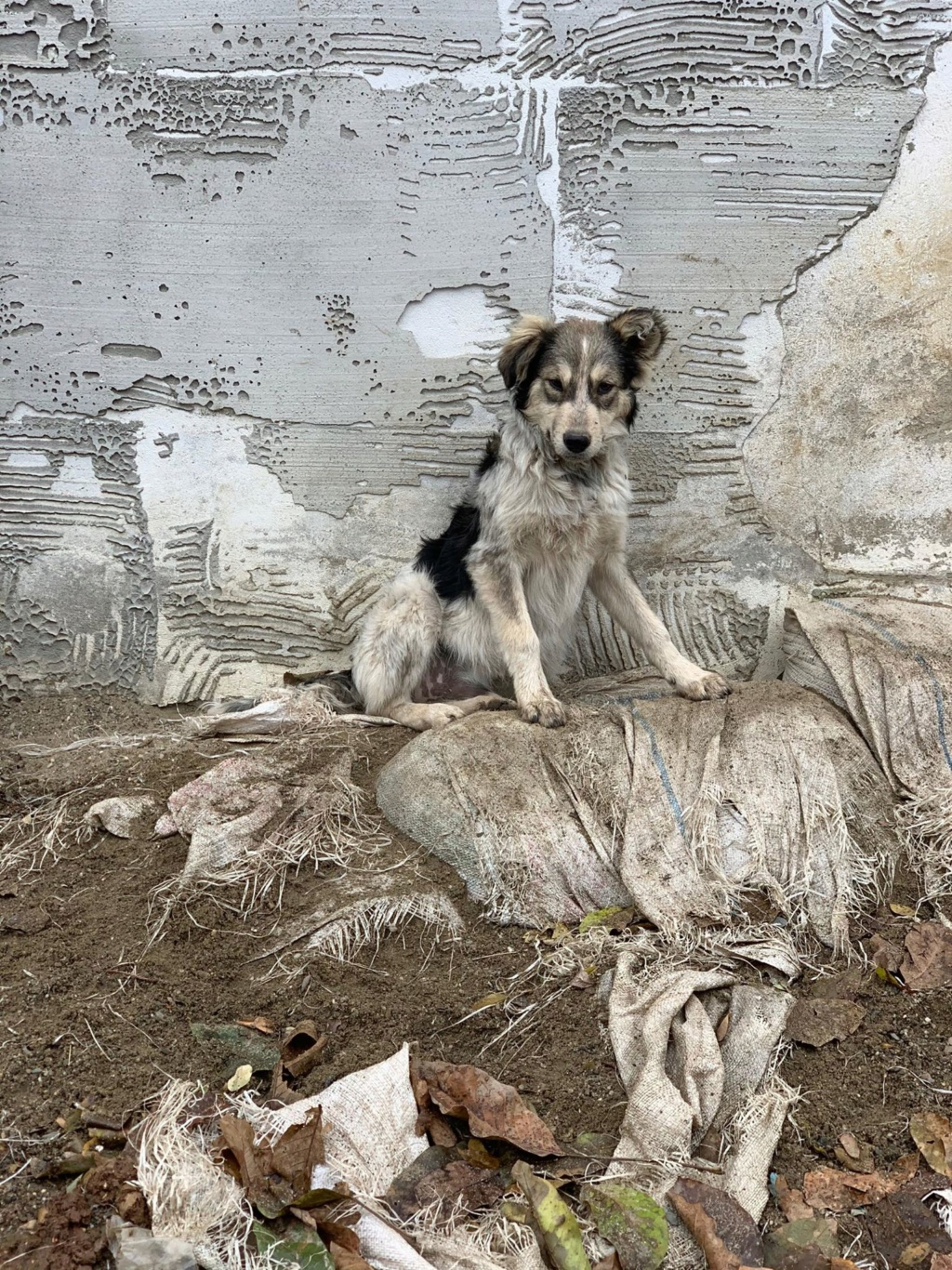 Hélios-mâle- fourrière de Târgu Frumos - adopté via Andreea 76640110