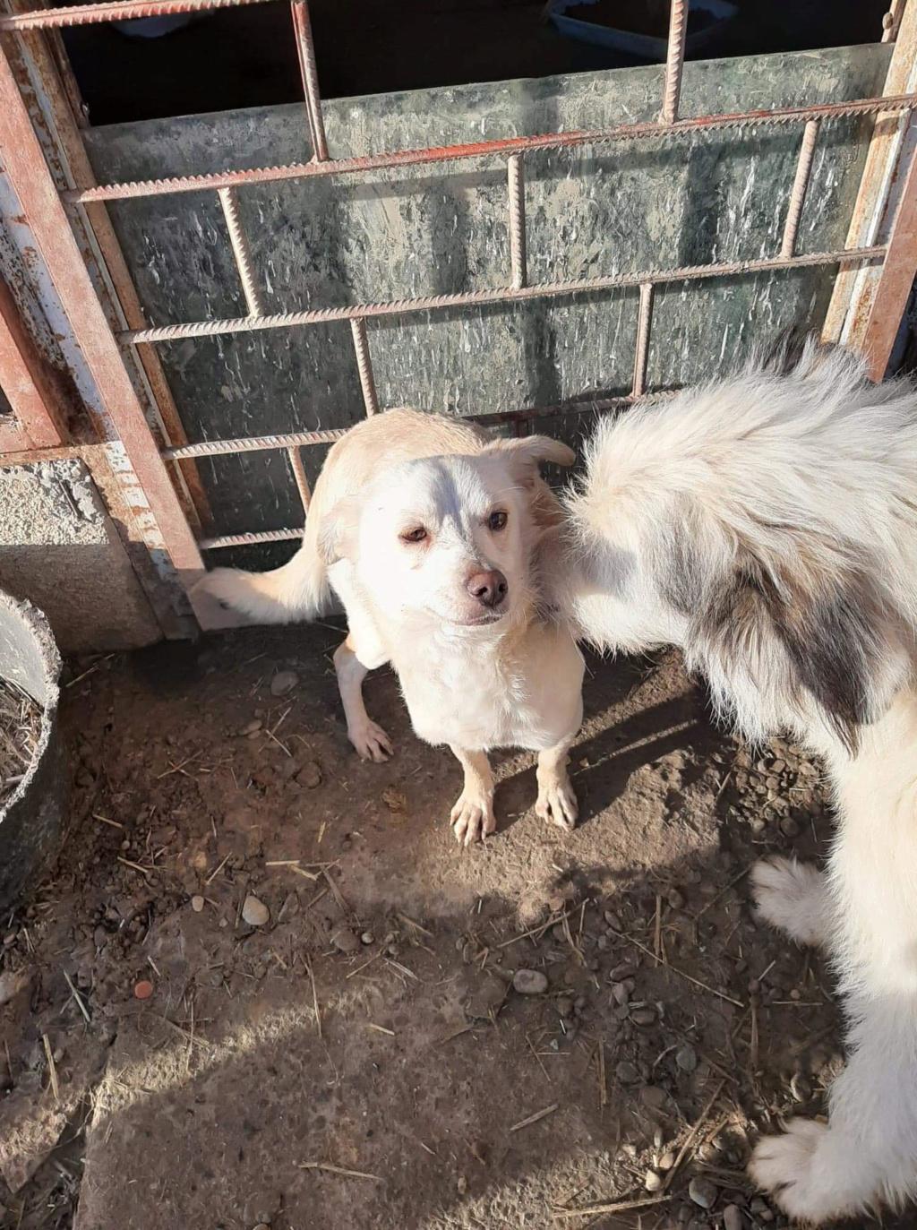 Oxford- mâle- fourrière de Târgu Frumos 79774810