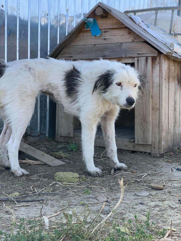 Alba -femelle- fourrière de Târgu Frumos - adoptée en Hollande Alba_510
