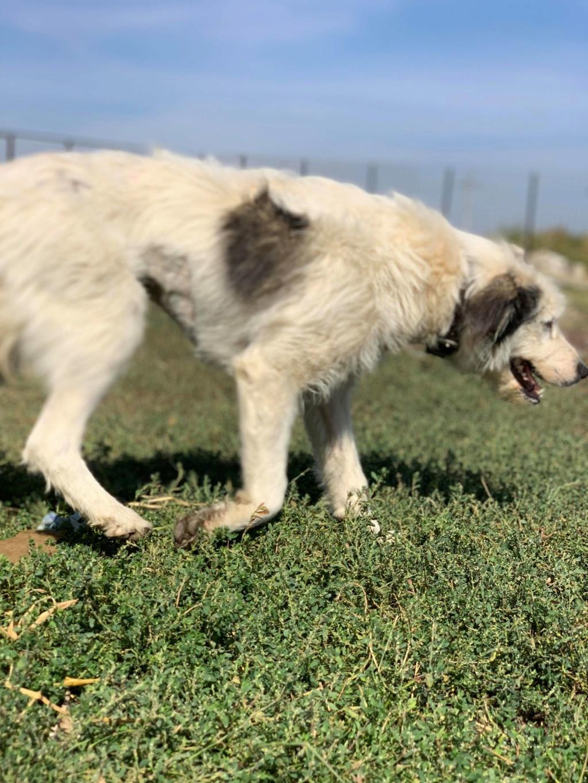 Alba -femelle- fourrière de Târgu Frumos - adoptée en Hollande Alba_610