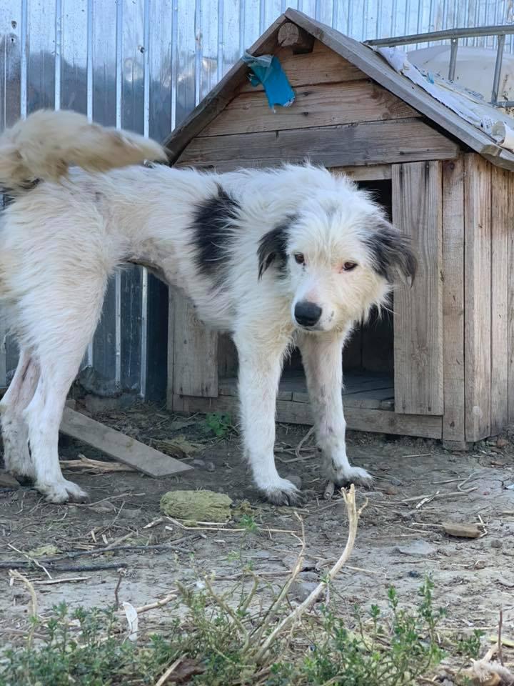 Alba -femelle- fourrière de Târgu Frumos - adoptée en Hollande Albaaa10