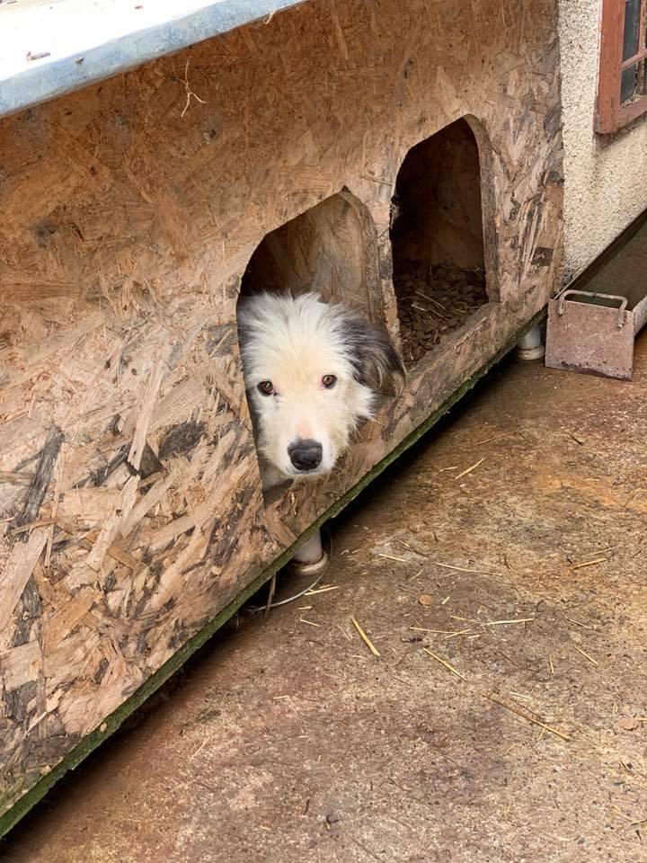 Alba -femelle- fourrière de Târgu Frumos - adoptée en Hollande Albb10