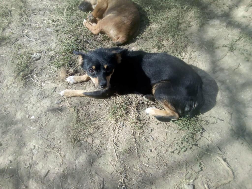 Ambre- femelle- fourrière de Târgu Frumos - réservée adoption (67) rapatriement novembre Ambre_14