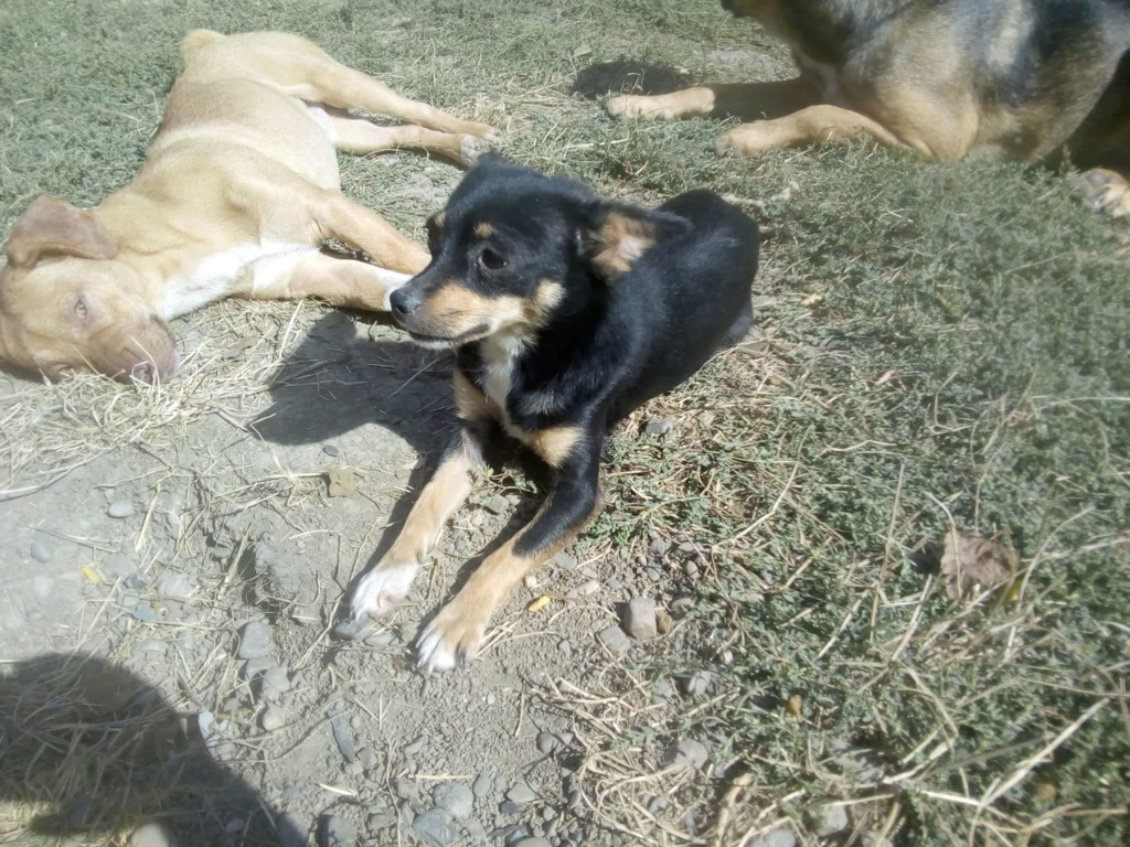 Ambre- femelle- fourrière de Târgu Frumos - réservée adoption (67) rapatriement novembre Ambre_15