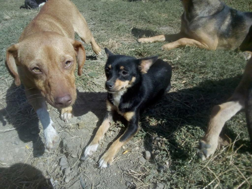 Ambre- femelle- fourrière de Târgu Frumos - réservée adoption (67) rapatriement novembre Ambre_18