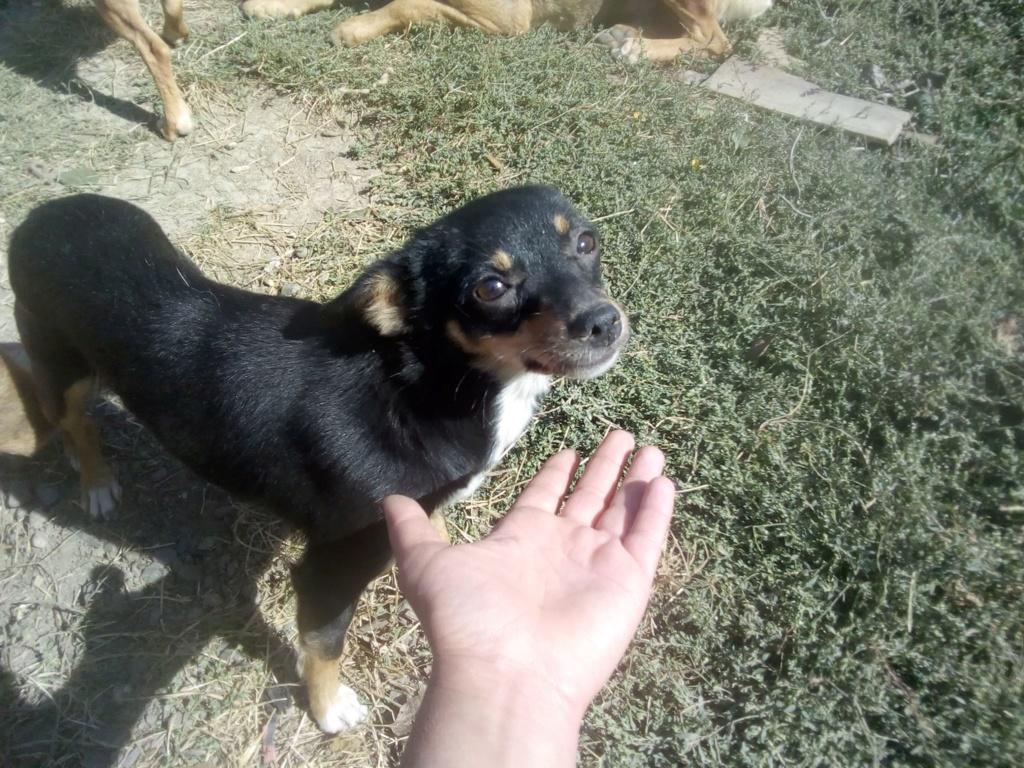 Ambre- femelle- fourrière de Târgu Frumos - réservée adoption (67) rapatriement novembre Ambre_24