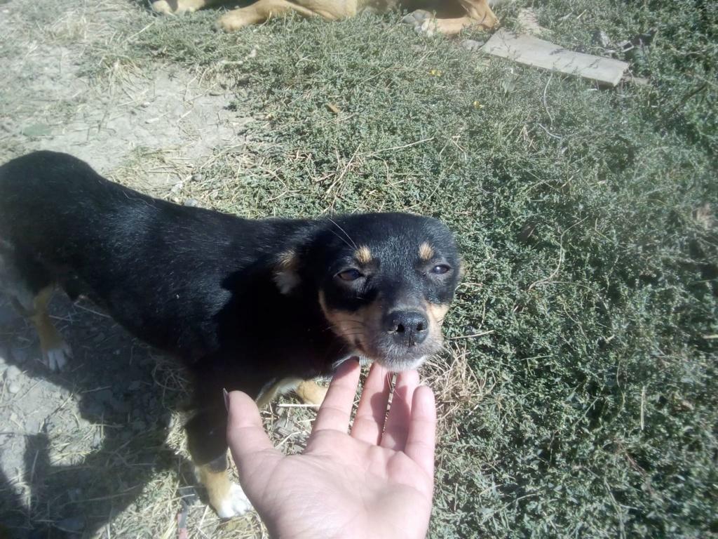 Ambre- femelle- fourrière de Târgu Frumos - réservée adoption (67) rapatriement novembre Ambre_25