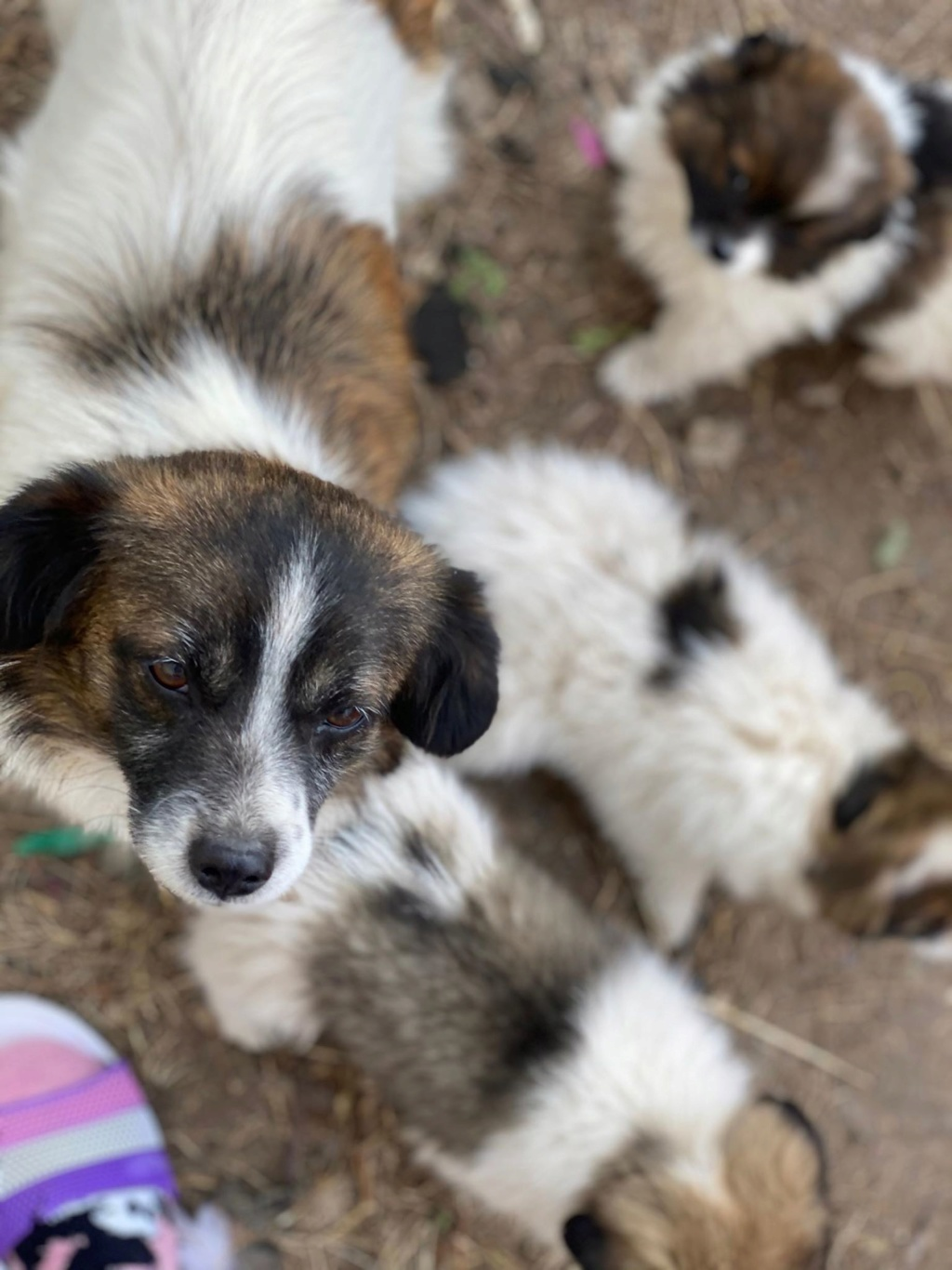 Ayana- femelle- fourrière de Târgu Frumos - Réservée adoption (10) Ayana_10