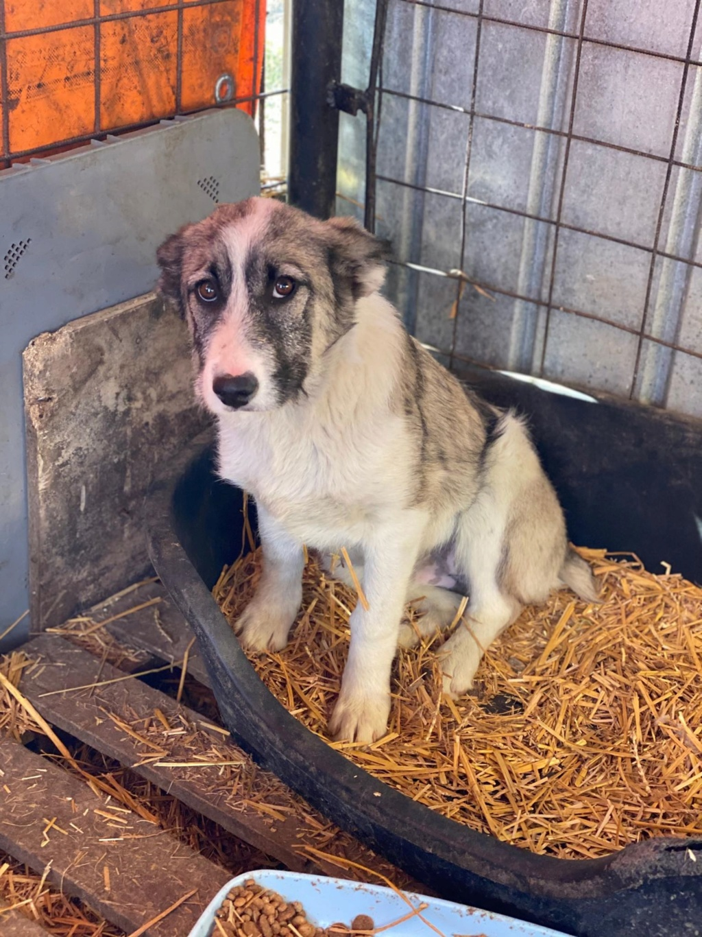 Belle- femelle- fourrière de Târgu Frumos - Réservée adoption (67) Belle_12