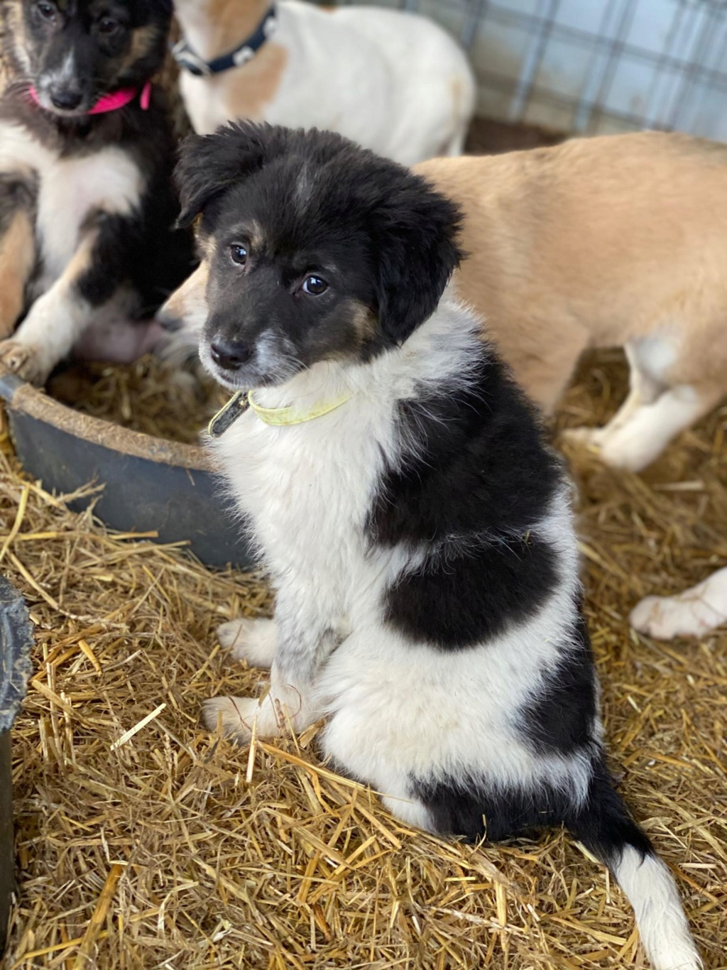 Bounty- femelle- fourrière de Târgu Frumos Réservée adoption (67) - DCD Bounty15