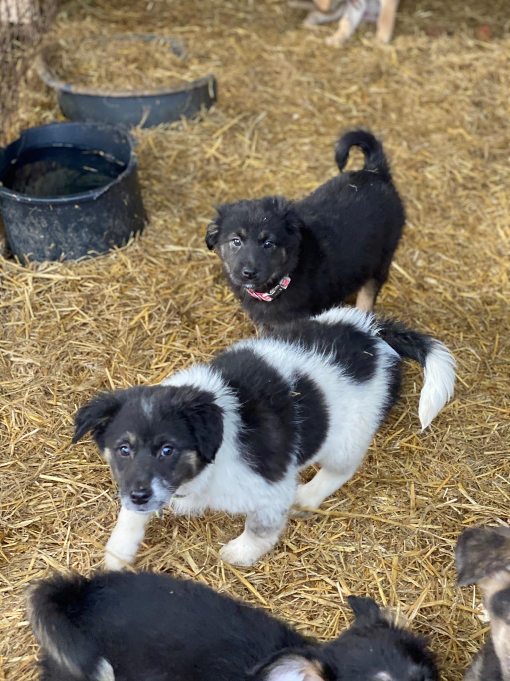 Bounty- femelle- fourrière de Târgu Frumos Réservée adoption (67) - DCD Bounty17