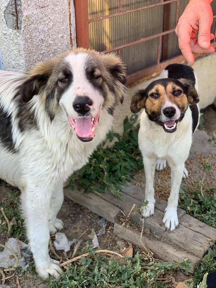 Caporal - mâle - fourrière de Târgu Frumos adopté via andreea Capo_c10