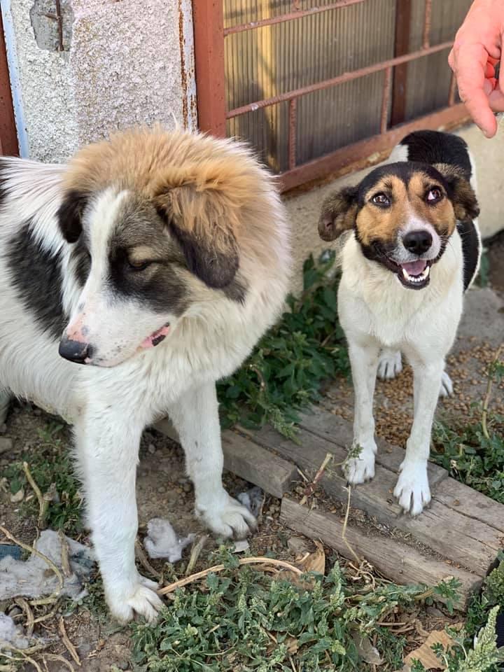Colombine- femelle- fourrière de Târgu Frumos - adoptée via Andreea Capora10