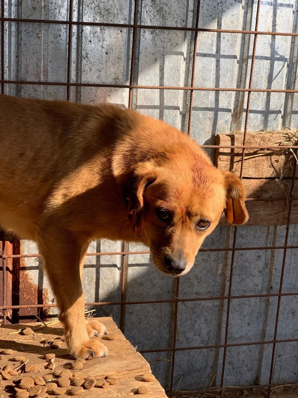 Cosmo - mâle - fourrière de Târgu Frumos - re-attrapé mars 2019 Cosmo10