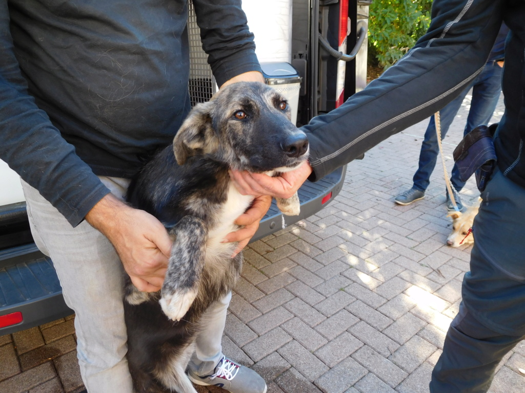 Kora - femelle - refuge de Arad - réservée adoption (68) Dscn4919
