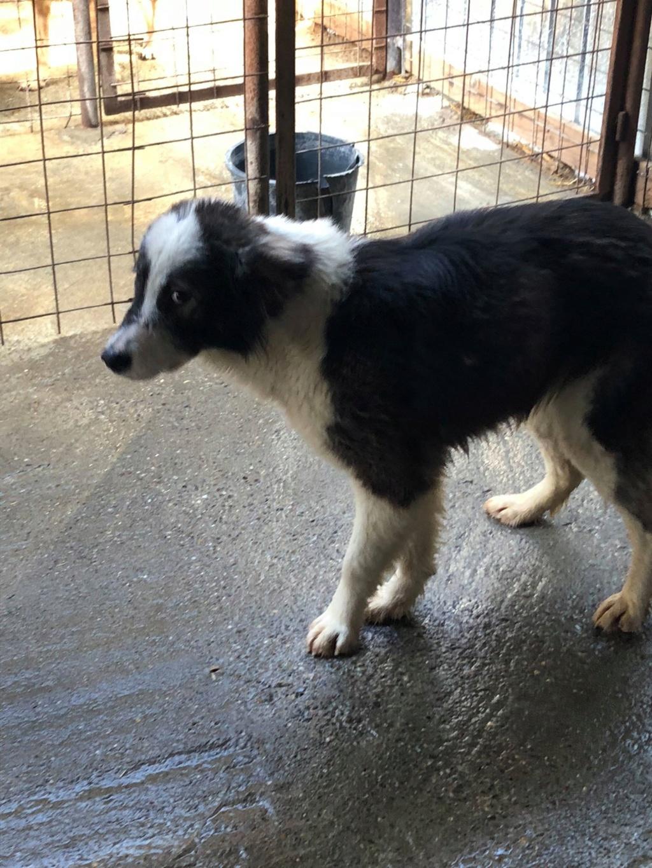 Everest - femelle - fourrière de Târgu Frumos - sera en famille d'accueil dans le 67 en mai Everes10