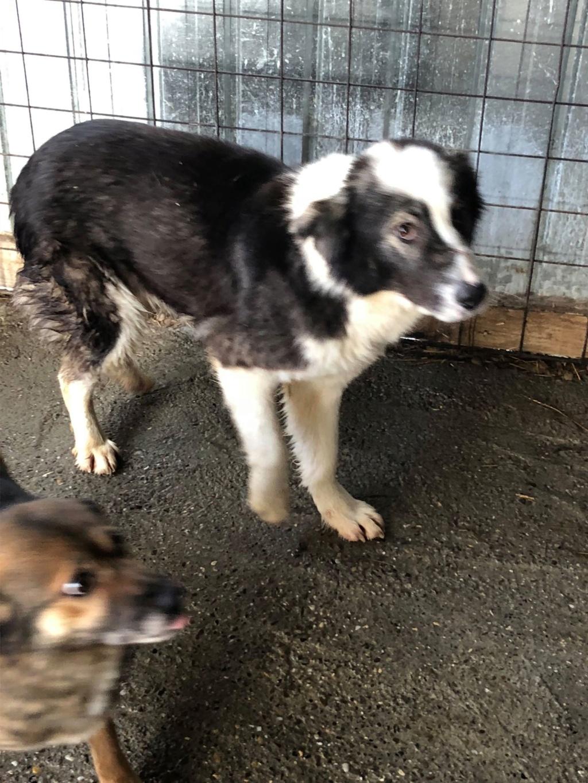 Everest - femelle - fourrière de Târgu Frumos - sera en famille d'accueil dans le 67 en mai Everes12
