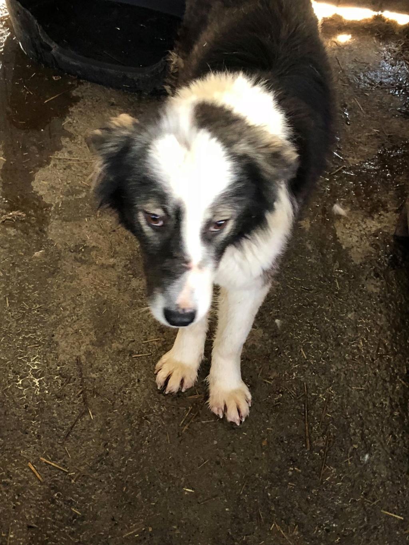 Everest - femelle - fourrière de Târgu Frumos - sera en famille d'accueil dans le 67 en mai Everes13