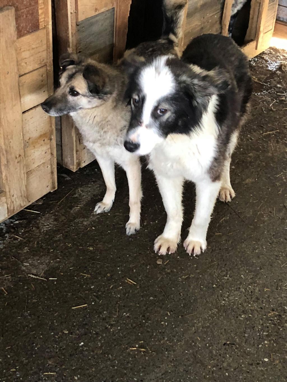 Everest - femelle - fourrière de Târgu Frumos - sera en famille d'accueil dans le 67 en mai Everes14