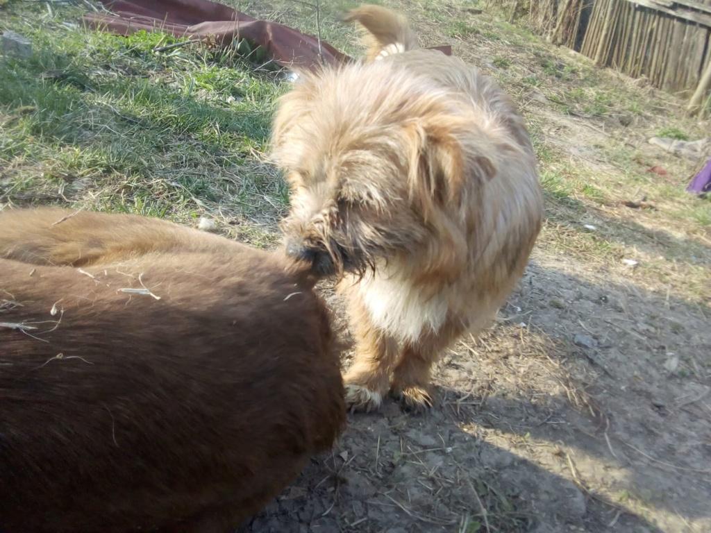 Fluffy-femelle- refuge de Targu Frûmos - Adoptée via Andreea Fluffy19