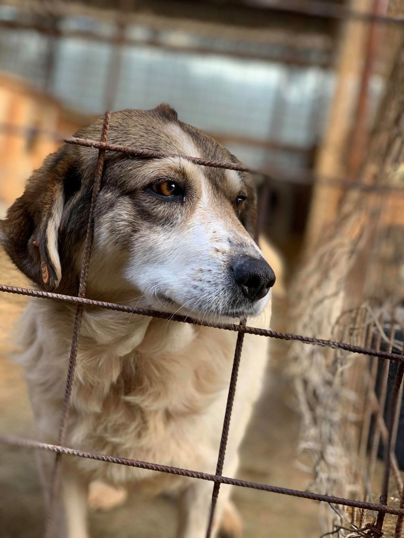 Gibbs - mâle - fourrière de Târgu Frumos - réservé adoption (67) Gibbs10