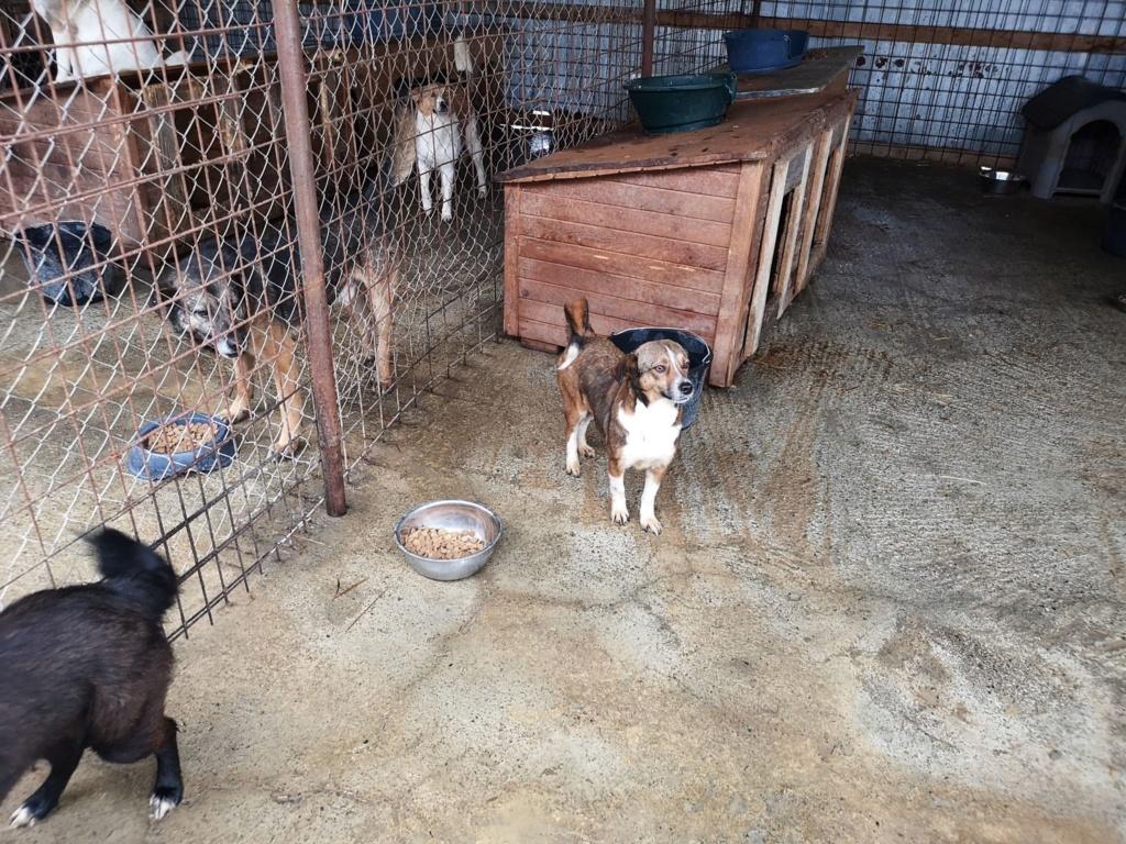 Ginka - femelle - fourrière de Târgu Frumos - sera en famille d'accueil dans le 67 en mai Ginka210