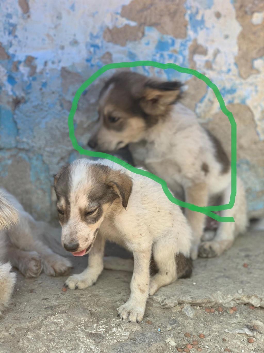 Hélios-mâle- fourrière de Târgu Frumos - adopté via Andreea Helios24