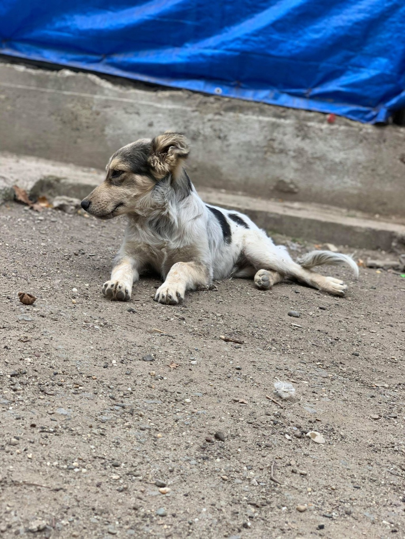 Hélios-mâle- fourrière de Târgu Frumos - adopté via Andreea Helios36