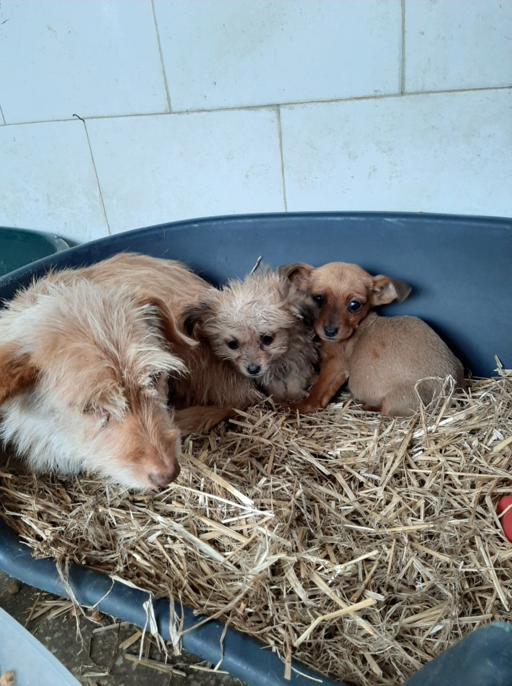 Zumia- femelle- fourrière de Târgu Frumos - réservée adoption (88) Inca_118
