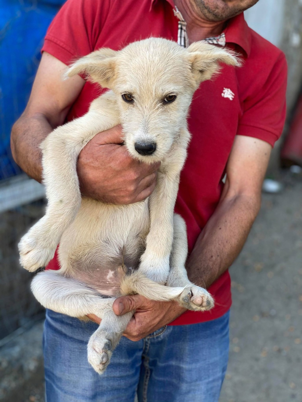 Maddox- mâle- fourrière de Târgu Frumos - réservé adoption (57) Maddox11