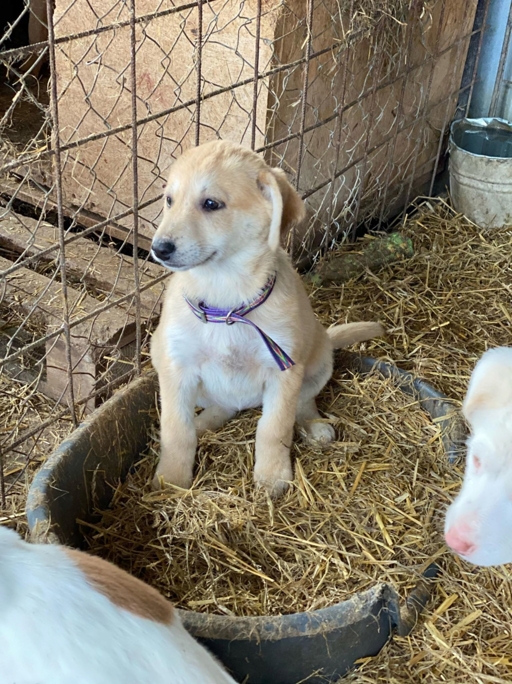 Mareva- femelle- fourrière de Târgu Frumos - réservée adoption (57) Mareva17