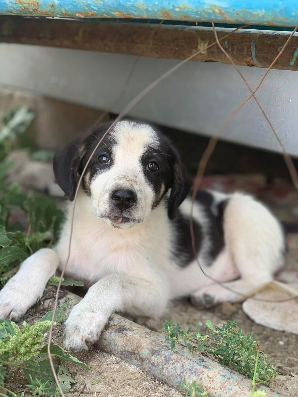 Miacara- femelle- fourrière de Târgu Frumos - adoptée via Andreea Miacar11