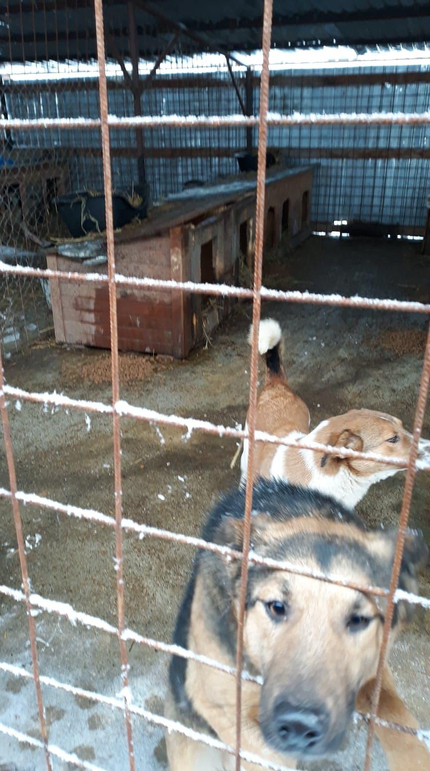 Minos - mâle à Targu Frumos - en famille d'accueil dans le 67 - réserve adoption (01) Minos10