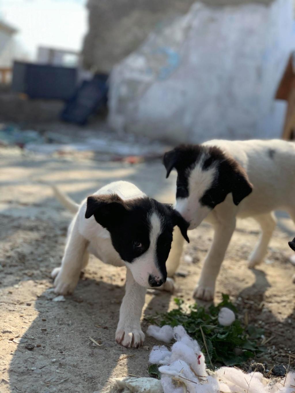 Opaline- femelle- refuge de Targu Frûmos - réservée adoption (57) Opalin10