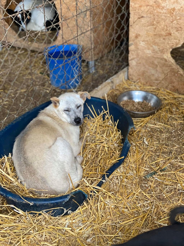 Serenity-  femelle-fourrière de Târgu Frumos -  en famille d'accueil dans le 78  Sereni10
