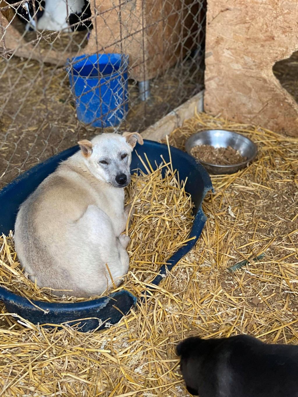 Serenity-  femelle-fourrière de Târgu Frumos -  en famille d'accueil dans le 78  Sereni11
