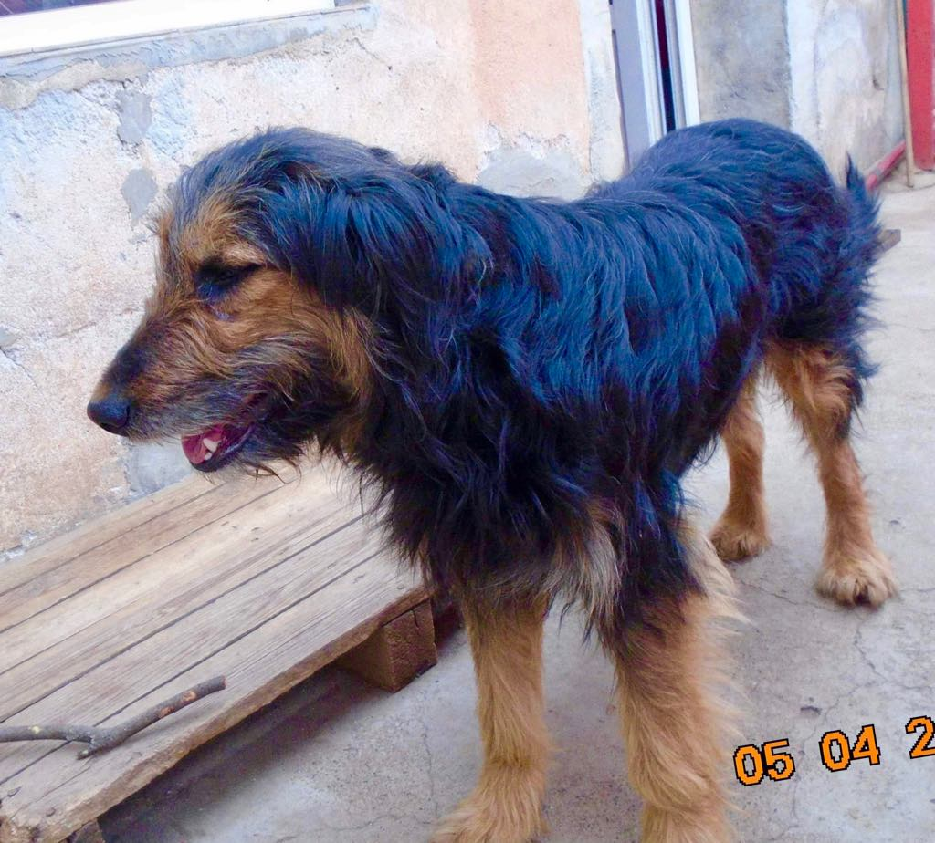 Mr Shaggy-mâle- refuge d'Arad - adopté via Arad Shaggy16