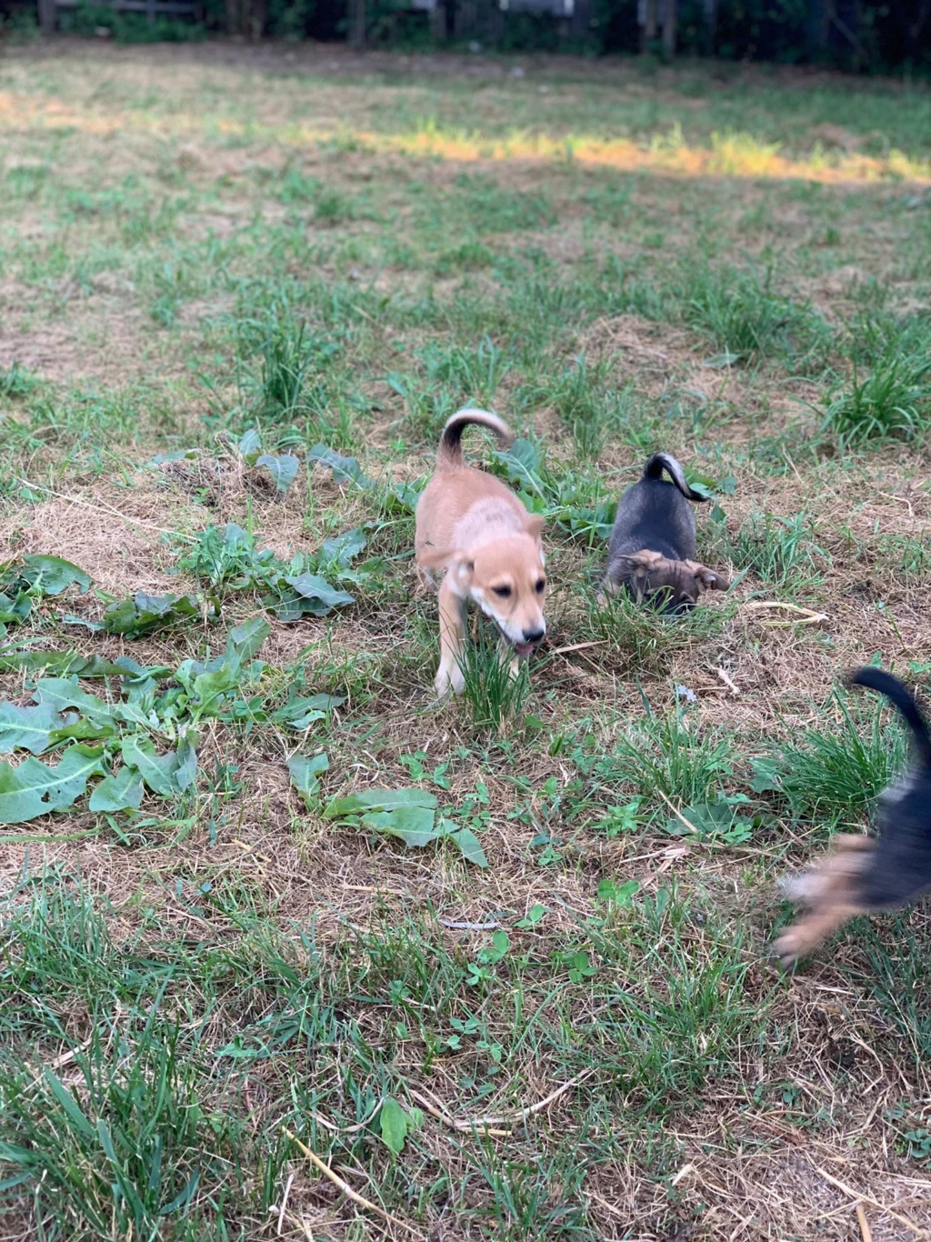 Sora- femelle- fourrière de Târgu Frumos - adoptée en Hollande Sora_214