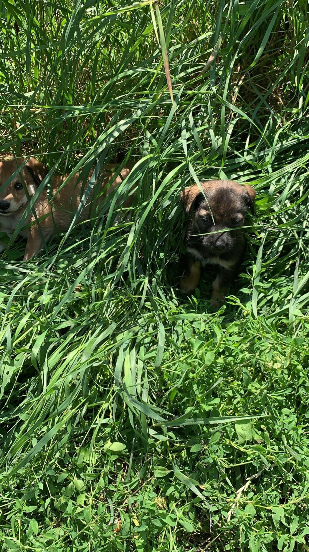 Cerise- femelle- fourrière de Târgu Frumos Sora_320
