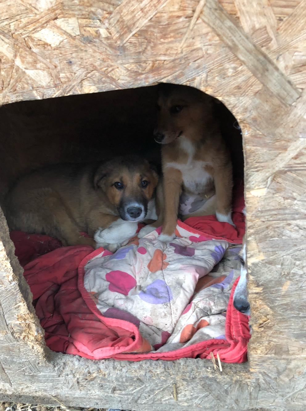 Toby- mâle-refuge de Targu Frûmos - réservé adoption 67 Toby11
