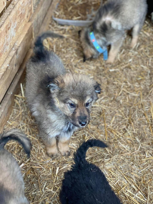 Ryuk (ex Trooper) -mâle- fourrière de Târgu Frumos Réservé adoption (59) Troope22