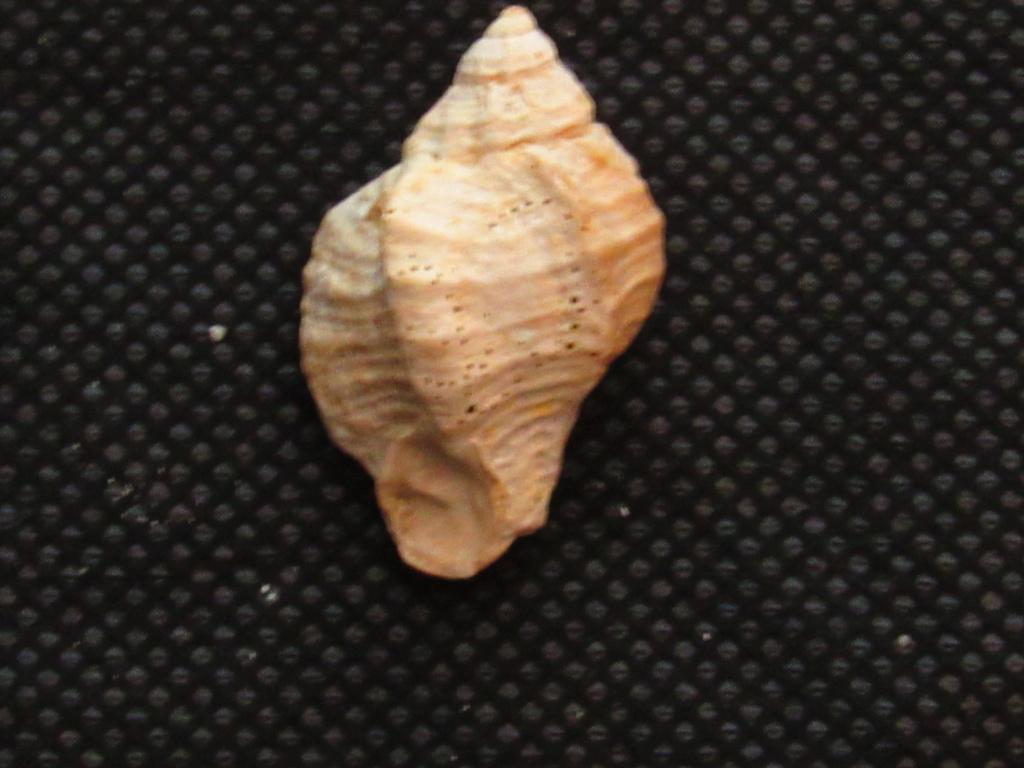 Murex de l'Aquitanien des Landes à identifier Img_2117