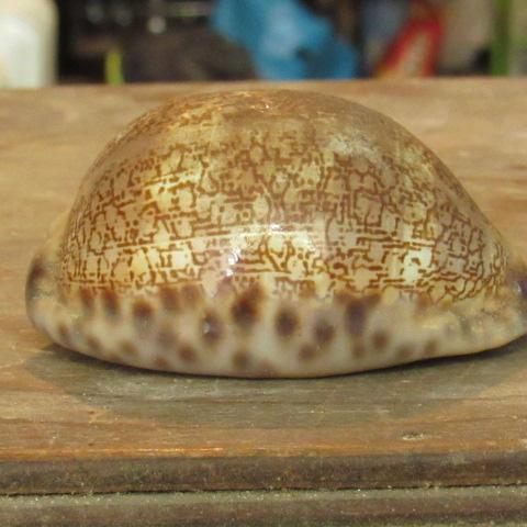 gastéropodes du Sénégal Img_2127